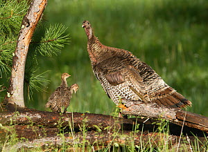 Merriam's Hen Turkey (Meleagris gallopavo merriami) with two chicks on a log. South Dakota, USA, February. - Charlie Summers