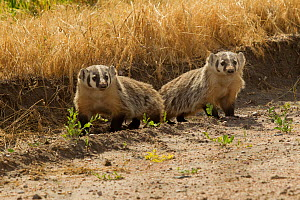 Two American Badgers (Taxidea taxus), mother on the left and juvenile to the right. Toadstool State Park, Nebraska, USA, January.  -  Charlie Summers