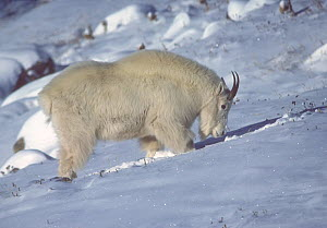 Rocky Mountain Goat (Oreamnos americanus) nanny foraging for food under a snow covered slope in the winter. Colorado, USA, February.  -  Charlie Summers