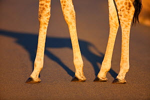 Giraffe legs (Giraffa camelopardalis), Zululand, South Africa, November - Richard Du Toit