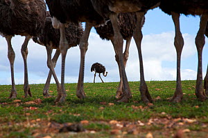 Low level view of domestic Ostrich (Struthio camelus), Overberg, Southern Cape, South Africa  August - Richard Du Toit