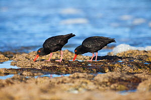 African black oystercatchers (Haematopus moquini) feeding on shoreline, Southern Cape, South Africa May  -  Richard Du Toit
