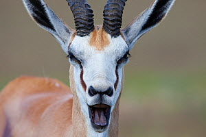 Springbok ram calling (Antidorcas marsupialis) Kalahari, South Africa, January - Richard Du Toit