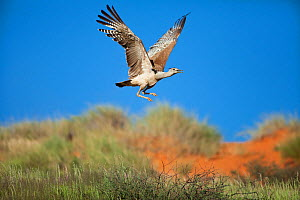 Kori bustard in flight (Ardeotis kori), Kalahari, South Africa, January  -  Richard Du Toit