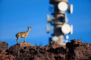 Klipspringer (Oreotragus oreotragus) with communications tower in background, Waterberg, South Africa, April  -  Richard Du Toit