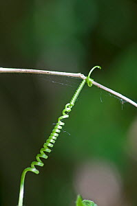 Black Bryony (Dioscorea communis) helical tendril attached to sprig. Surrey, England, May. - Adrian Davies