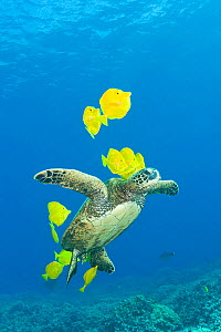Green sea turtle (Chelonia mydas) cleaned of algae by Yellow tangs / surgeonfish (Zebrasoma flavescens), Puako, Kona, Hawaii, USA, June, Endangered species - Doug Perrine