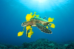 Green sea turtle (Chelonia mydas) being cleaned of algae by Yellow tangs / surgeonfish (Zebrasoma flavescens), Puako, Kona, Hawaii, USA, June, Endangered species - Doug Perrine