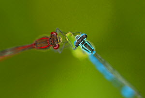 Azure damselfly (Coenagrion puella) male on right and Large red damselfly (Pyrrhosoma nymphula) on left, on grass stem, Sheffield, UK, May  -  Paul Hobson