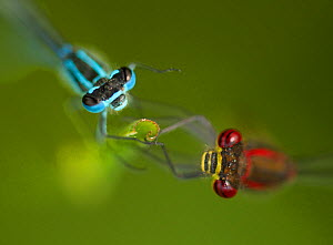 Azure damselfly (Coenagrion puella) male on left and Large red damselfly (Pyrrhosoma nymphula) on right, on grass stem, Sheffield, UK, May  -  Paul Hobson