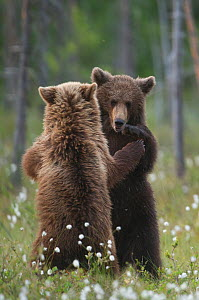 Brown bear (Ursus arctos) two fighting, Finland, June  -  Paul Hobson