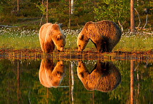Brown bear (Ursus arctos) two grazing beside water, Finland, June  -  Paul Hobson