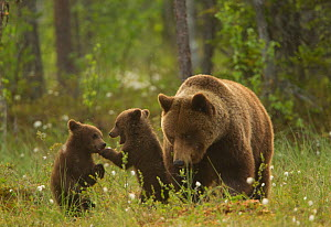 Brown bear (Ursus arctos) adult female with two cubs playing, Finland, June  -  Paul Hobson