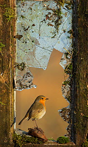 Robin (Erithacus rubecula) perched in broken window, UK, February - Paul Hobson
