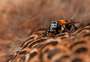 Sexton beetle (Nicrophorus investigator) on dead Pheasant (Phasianus sp), UK, July  -  Paul Hobson