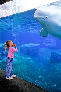 Girl in aquarium watching Beluga  / White Whale (Delphinapterus leucas) in aquarium. Captive. Model released.  -  Doc White