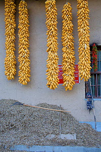 Corn (Zea mais / mays) hanging outside a Chinese farm house. Zhouzhi Nature Reserve, Shaanxi, China, October 2006.  -  Florian Möllers