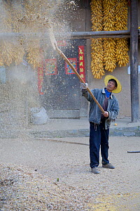 Chinese farmers 'separating the wheat from the chaff', here with yellow peas (Pisum sativum). Zhouzhi Nature Reserve, Shaanxi, China, October 2006.  -  Florian Möllers