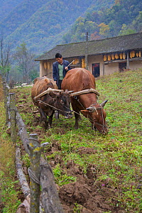 Chinese farmer ploughing his field with two Oxen (Bos indicus). Zhouzhi Nature Reserve, Shaanxi, China, October.  -  Florian Möllers