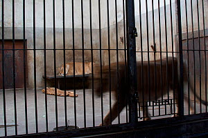 African Lions (Panthera leo) in a bare cage in Beijing Zoo, China, November.  -  Florian Möllers