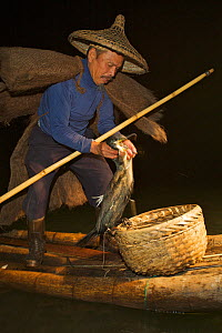 Chinese fisherman on his raft with Great Cormorant (Phalacrocorax carbo sinensis) removing a fish from the bird's gullet. Li River, Yangshuo, Guangxi, China, November.  -  Florian Möllers