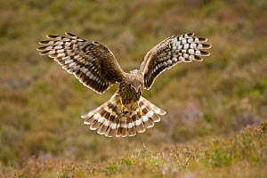 Hen harrier (Circus cyaneus) female hovering over moorland, Glen Tanar Estate, Deeside, Scotland, UK, June. Photographer quote: ^I'd been in the hide for over 5 hours when I heard the distant call of...  -  Mark Hamblin / 2020VISION