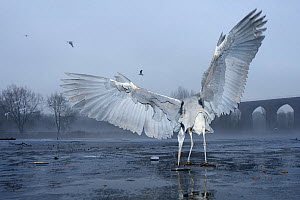 """Grey heron (Ardea cinerea) standing on ice feeding on fish bought by visitors from supermarket, Reddish Vale Country Park, Greater Manchester, UK. Photographer quote: """"It's great to see herons in loca... - Terry Whittaker / 2020VISION"""