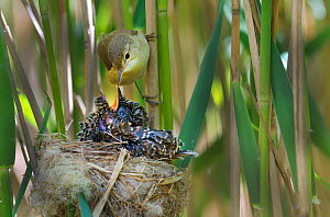 Reed warbler (Acrocephalus scirpaceus) feeding 12 day chick of European cuckoo (Cuculus canorus) in its nest, East Anglian Fens, Norfolk, May. 2020VISION Book Plate.  -  David Tipling / 2020VISION