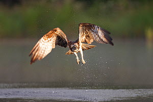 "Osprey (Pandion haliaeetus) in flight, fishing at dawn, Rothiemurchus forest, Cairngorms NP, Scotland, UK, July. Photographer quote: """"This female, caught at first light, has two hungry chicks waiting... - Peter Cairns / 2020VISION"