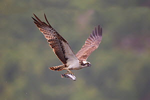 Osprey (Pandion haliaeetus) in flight, fishing at dawn, Rothiemurchus forest, Cairngorms NP, Scotland, UK, July. 2020VISION Book Plate. - Peter Cairns / 2020VISION