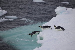Young Emperor penguins (Aptenodytes forsteri) jumping off ice floes, Antarctica, February 2011. - Fred Olivier
