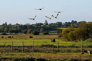 Six juvenile Common / Eurasian cranes (Grus grus), reared by the Great Crane Project, flying out from their initial release enclosure to forage on the Somerset Levels and Moors, with cattle and houses...  -  Nick Upton / 2020VISION