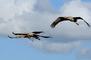 Four Juvenile Common / Eurasian cranes (Grus grus) recently released by the Great Crane Project, in flight over the Somerset Levels and Moors, Somerset, UK, Autumn 2011.  -  Nick Upton / 2020VISION