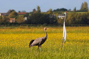 """Juvenile Common / Eurasian crane (Grus grus) """"Pepper"""" released by the Great Crane Project onto the Somerset Levels and Moors, standing near an adult crane decoy, with Autumn Hawkbit (Leontodon autumna...  -  Nick Upton / 2020VISION"""