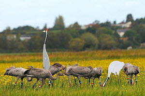 Flock of nine juvenile Common / Eurasian cranes (Grus grus) released by the Great Crane Project onto the Somerset Levels and Moors, foraging near adult crane decoys, with Autumn Hawkbit (Leontodon aut...  -  Nick Upton / 2020VISION
