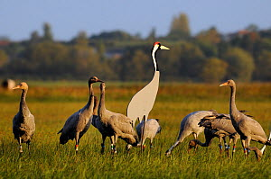 Mixed flock of 4 month old and 16 month old Common / Eurasian cranes (Grus grus), released by the Great Crane Project onto the Somerset Levels and Moors, standing alert or foraging near adult crane de...  -  Nick Upton / 2020VISION