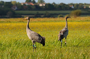 Two juvenile Common / Eurasian cranes (Grus grus) ^Pepper^ and ^Trinny^ released by the Great Crane Project onto the Somerset Levels and Moors, standing alert in a meadow, with Autumn Hawkbit (Leontod...  -  Nick Upton / 2020VISION