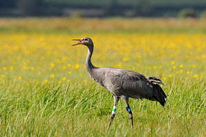 """Juvenile Common / Eurasian crane (Grus grus) """"Pepper"""" released by the Great Crane Project onto the Somerset Levels and Moors, callling to other Cranes as it stands in a meadow with Autumn Hawkbit (Leo...  -  Nick Upton / 2020VISION"""