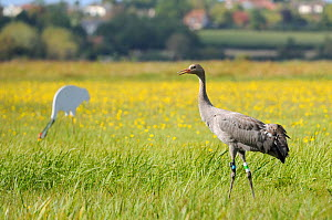 """Juvenile Common / Eurasian crane (Grus grus) """"Pepper"""" released by the Great Crane Project onto the Somerset Levels and Moors, near an adult crane decoy, with a carpet of Autumn Hawkbit (Leontodon autu...  -  Nick Upton / 2020VISION"""