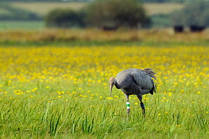 """Juvenile Common / Eurasian crane (Grus grus) """"Pepper"""" recently released by the Great Crane Project onto the Somerset Levels and Moors, foraging for insects in a grassy meadow carpeted with Autumnal ha...  -  Nick Upton / 2020VISION"""
