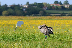 """Juvenile Common / Eurasian crane (Grus grus) """"Pepper"""" released by the Great Crane Project onto the Somerset Levels and Moors, preening as it stands near an adult crane decoy, with Autumn Hawkbit (Leon...  -  Nick Upton / 2020VISION"""