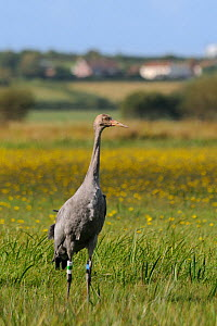 """Juvenile Common / Eurasian crane (Grus grus) """"Pepper"""" recently released by the Great Crane Project onto the Somerset Levels and Moors, standing alert in a grassy meadow with Autumnal hawkbit (Leontodo...  -  Nick Upton / 2020VISION"""