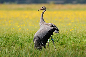 Juvenile Common / Eurasian crane (Grus grus) 'Pepper' released by the Great Crane Project onto the Somerset Levels and Moors, stretching a wing while standing in a grassy meadow with Autumn Hawkbit (L...  -  Nick Upton / 2020VISION