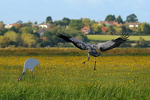 Juvenile Common / Eurasian crane (Grus grus) 'Trinny' released by the Great Crane Project coming in to land near an adult crane decoy in a meadow of Autumn Hawkbit (Leontodon autumnalis) flowers. Some...  -  Nick Upton / 2020VISION
