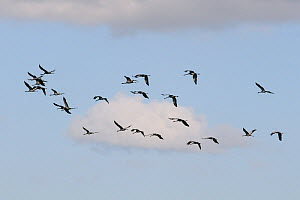 Flock of twenty-four Common / Eurasian cranes (Grus grus), some aged 16 months, some 4 months, released by the Great Crane Project in 2010 and 2011, in flight over the Somerset Levels and Moors, Somer...  -  Nick Upton / 2020VISION