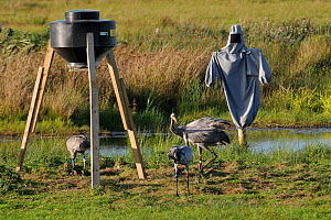 Four month old, brown-headed male Common / Eurasian crane (Grus grus) released by the Great Crane Project, challenging 16 month old female 'Tamsin', near a grain feeder and a dummy surrogate parent ma...  -  Nick Upton / 2020VISION