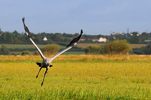 Juvenile Common / Eurasian crane (Grus grus) recently released by the Great Crane Project onto the Somerset Levels and Moors, taking off from a meadow, Somerset, UK, Autumn 2011.  -  Nick Upton / 2020VISION