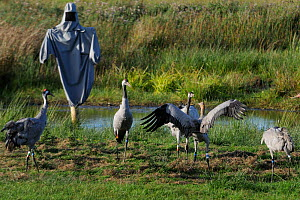 Common / Eurasian crane (Grus grus) ^Albert^, a brown-headed 4 month old reared by the Great Crane Project, challenging 16 month old female 'Sedge', near a surrogate parent manakin within their initia...  -  Nick Upton / 2020VISION