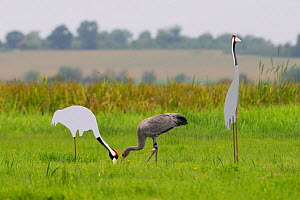 Recently fledged juvenile Common / Eurasian crane (Grus grus) released by the Great Crane Project onto the Somerset Levels and Moors, foraging by adult crane cut out decoys, Somerset, UK, Autumn 2011....  -  Nick Upton / 2020VISION