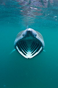Basking shark (Cetorhinus maximus) with mouth wide open feeding on plankton concentrated in surface waters close to the island of Coll, Inner Hebrides, Scotland, UK, June 2011. 2020VISION Exhibition....  -  Alex Mustard / 2020VISION